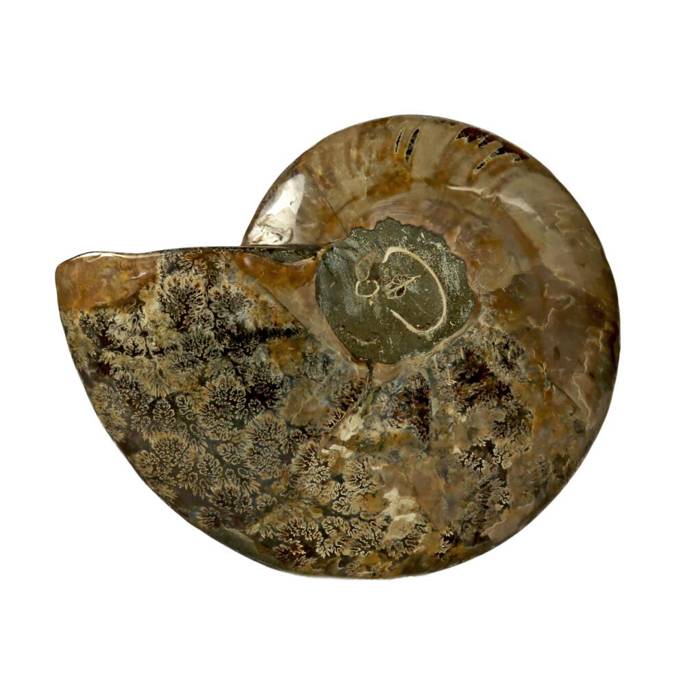 Ammonite Fossil Inlaid With Ammolite