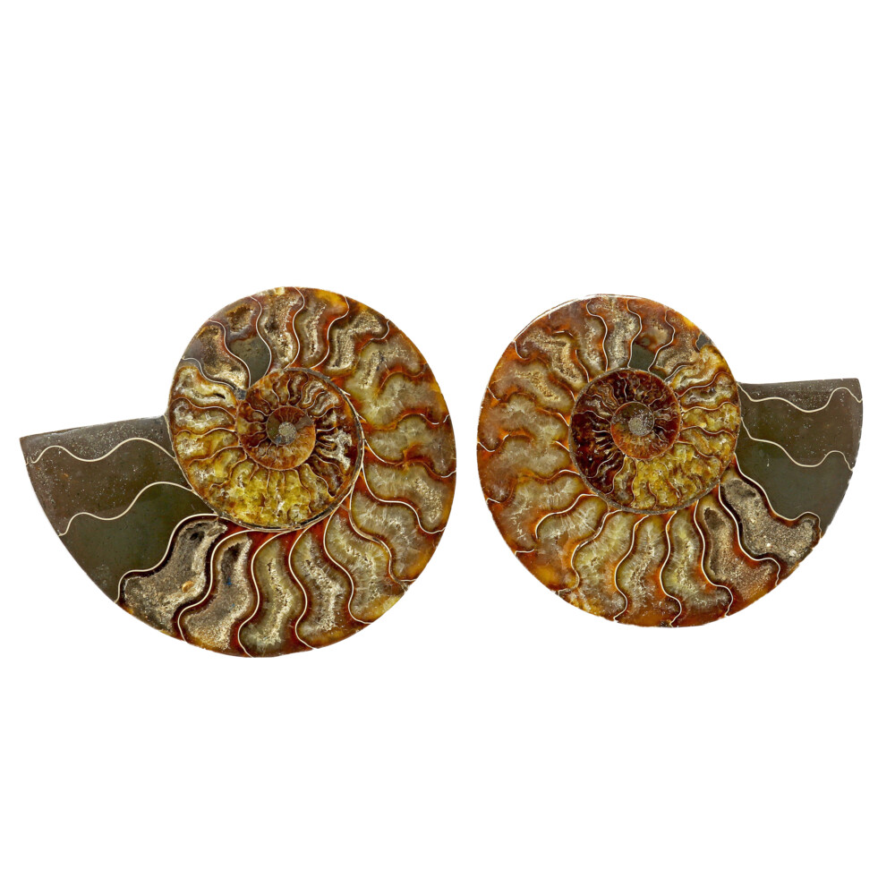 Ammonite Fossil Pair With Carmel Calcite