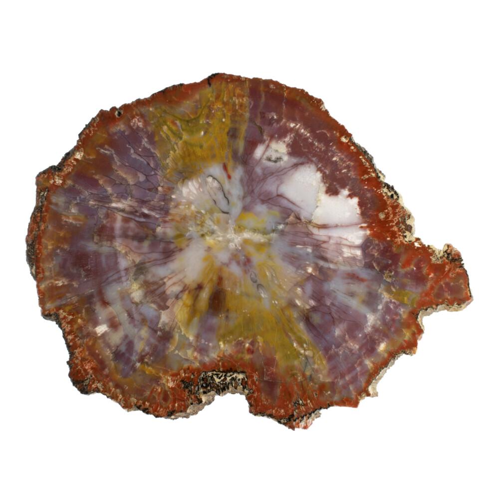 Image 2 for Arizona Petrified Wood Slice - Yellow Stripe Across