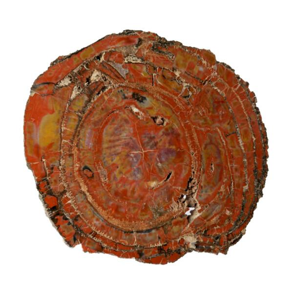 Closeup photo of Arizona Petrified Wood Slice - Mostly Brecciated