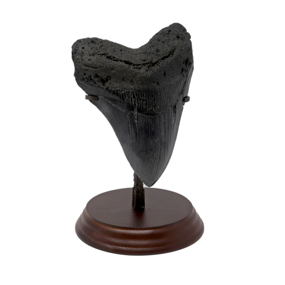 Image 2 for Megalodon Shark Tooth A++ Large In Stand