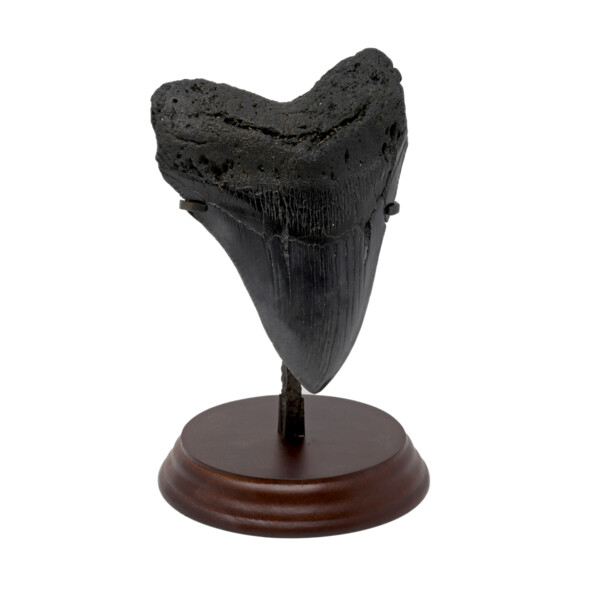 Closeup photo of Megalodon Shark Tooth A++ Large In Stand