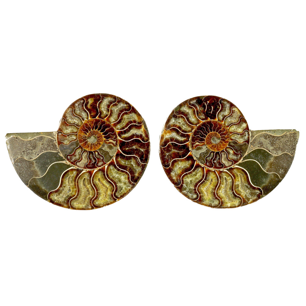 Image 2 for Ammonite Fossil Pair On Acrylic Stands With Light Calcite Open Chambers