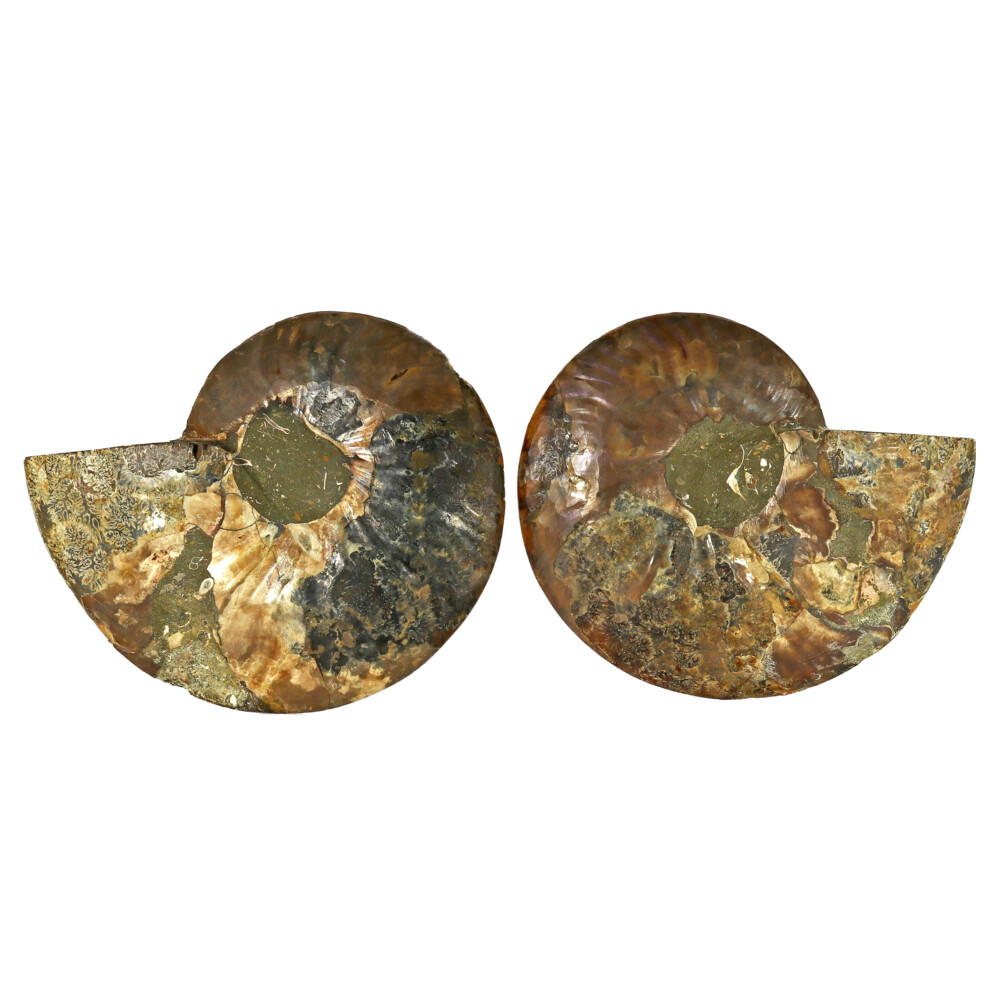 Image 2 for Ammonite Fossil Pair On Acrylic Stands With Dark Calcite Open Chambers