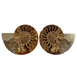 Closeup photo of Ammonite Fossil Pair On Acrylic Stands With Dark Calcite Open Chambers