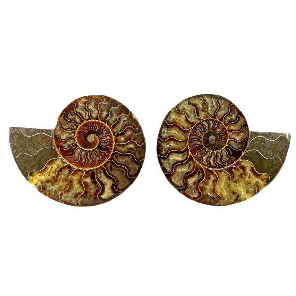 Closeup photo of Ammonite Fossil Pair On Acrylic Stands With Dark & Light Calcite Open Chambers