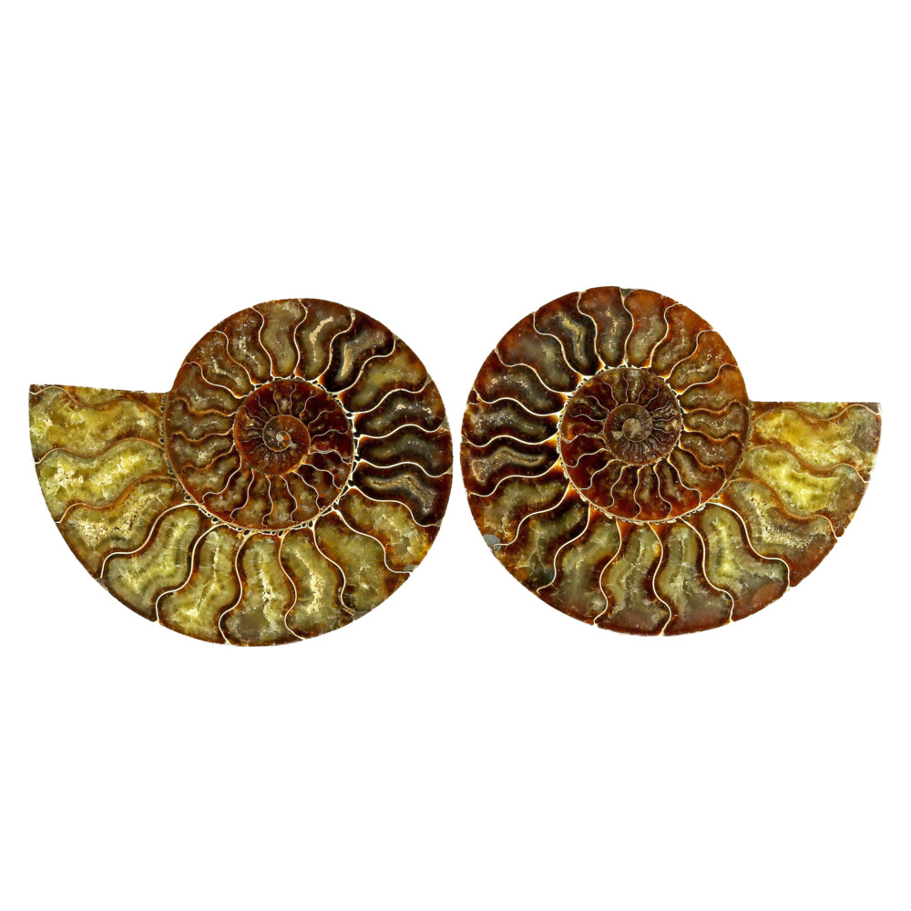 Image 2 for Ammonite Fossil Pair On Acrylic Stands With Light & Medium Tone Calcite Chambers