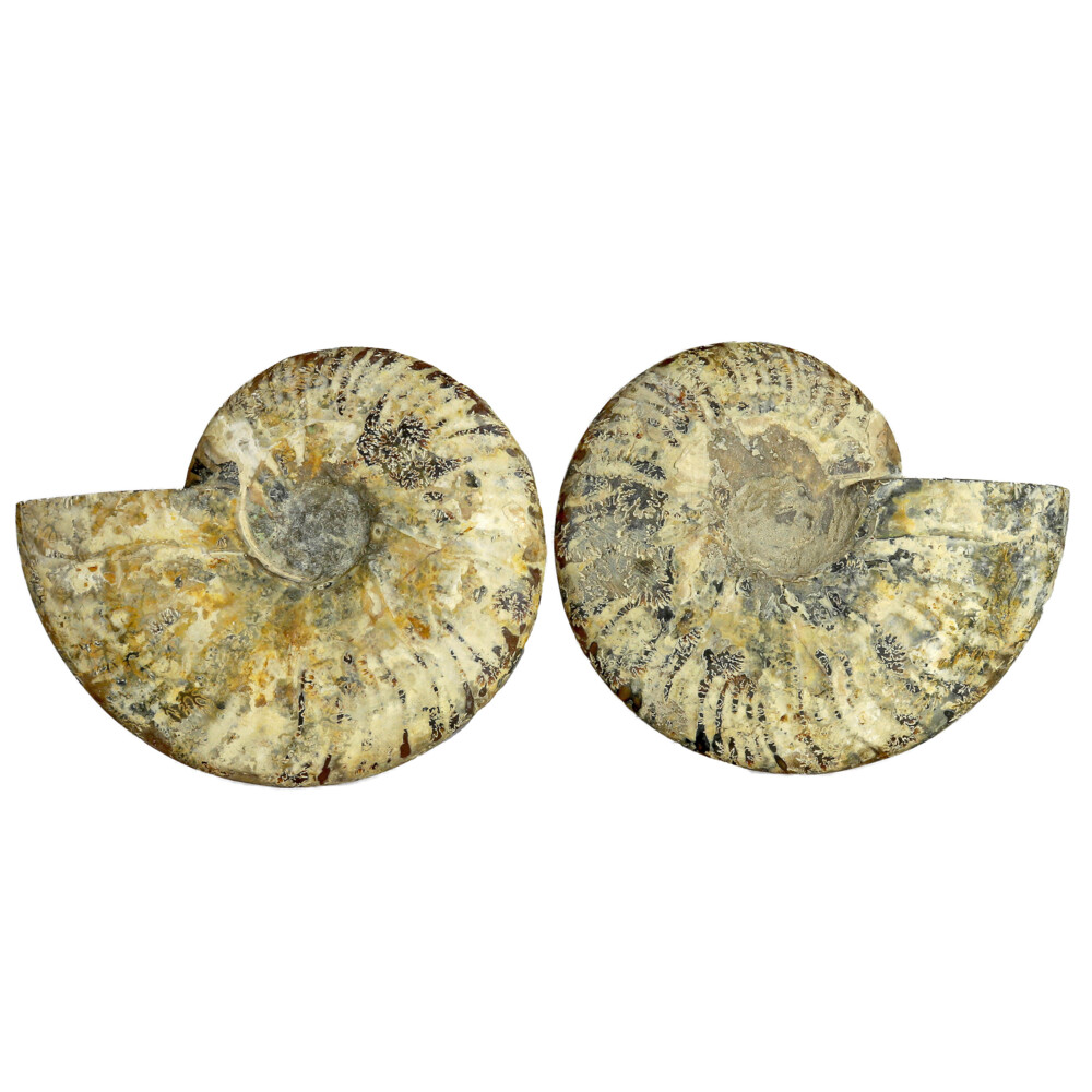 Ammonite Fossil Pair On Acrylic Stands With Light & Medium Tone Calcite Chambers
