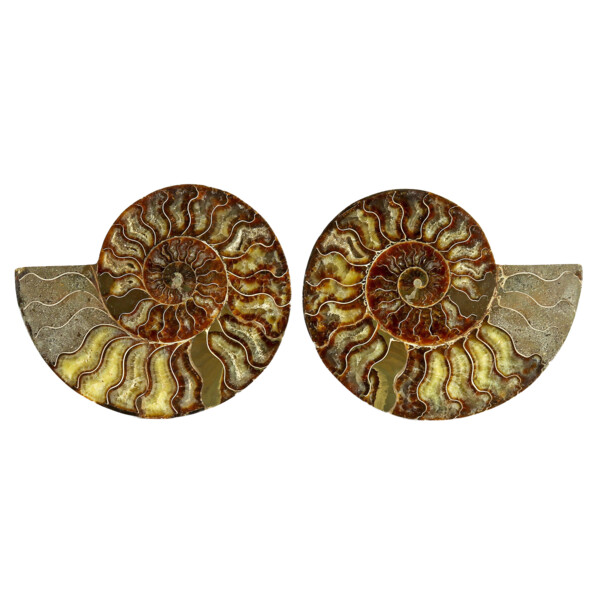 Closeup photo of Ammonite Fossil Pair On Acrylic Stands With Contrasting Chambers
