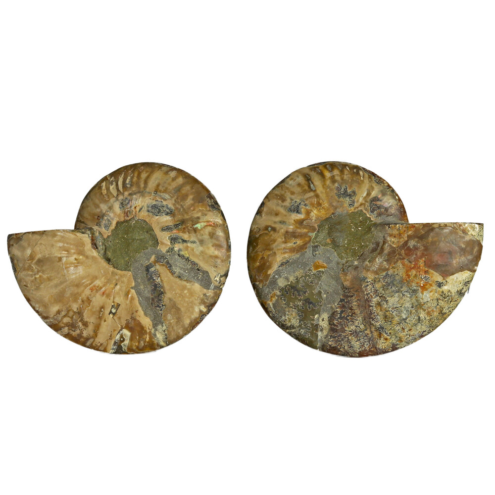 Image 2 for Ammonite Fossil Pair On Acrylic Stands With Contrasting Chambers