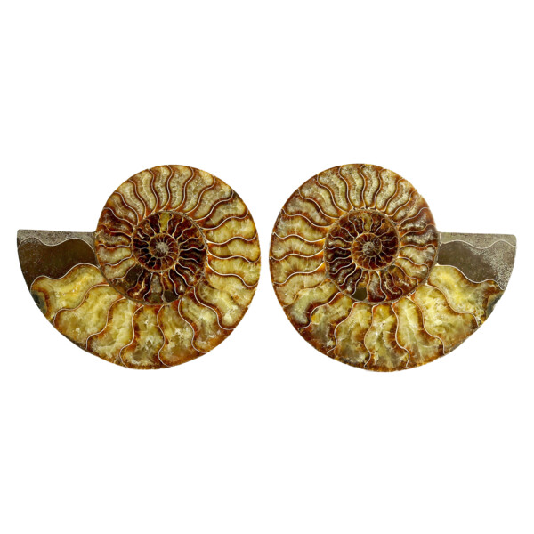 Closeup photo of Ammonite Fossil Pair On Acrylic Stands With Light Calcite Chambers