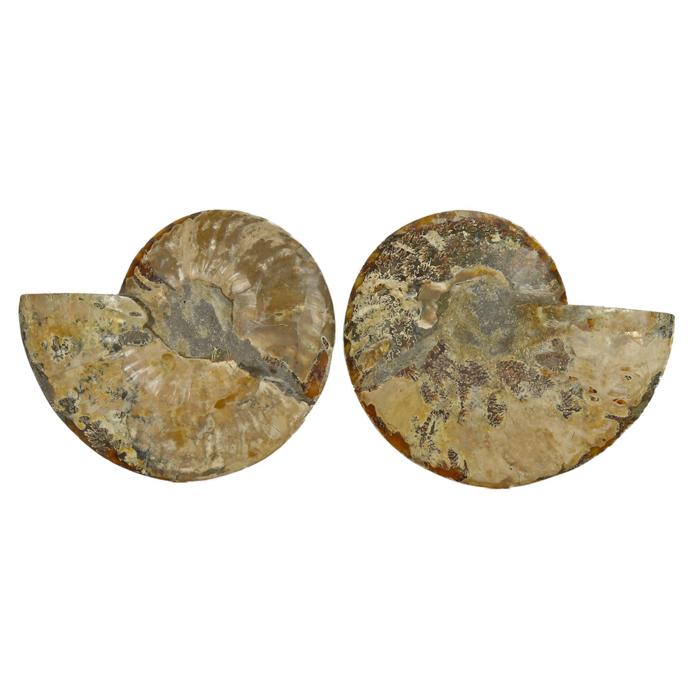 Ammonite Fossil Pair On Acrylic Stands With Light Calcite Chambers