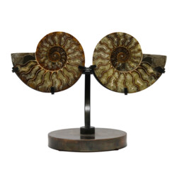 Closeup photo of Ammonite Fossil Pair On Custom Metal Stand